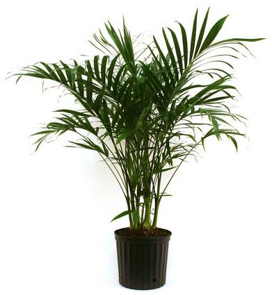 palm-plants